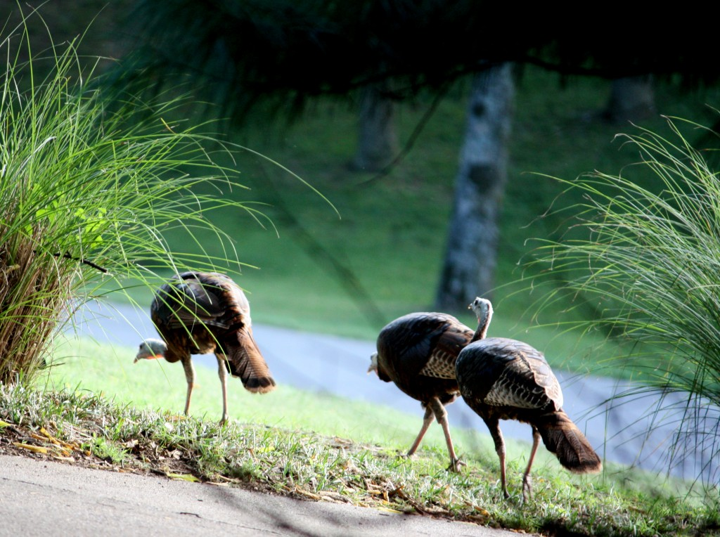 Turkeys on the Trot