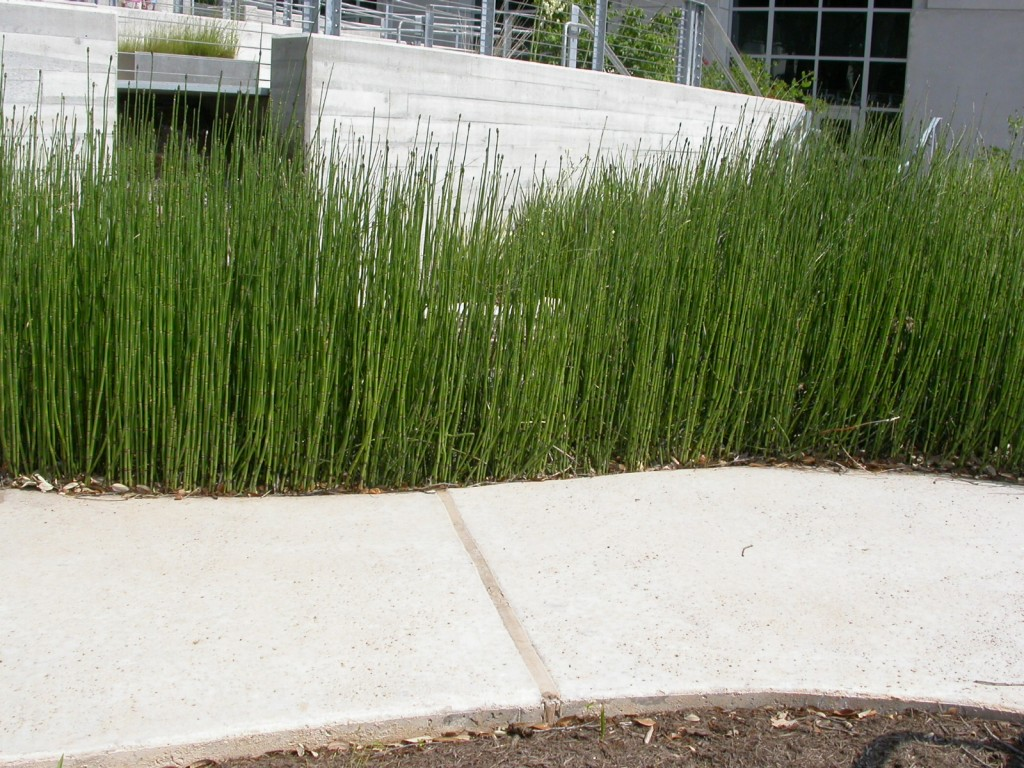 Equisetum hyemale grow where you're planted