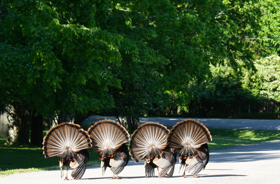 Modfrugal/Wild Turkeys in Love