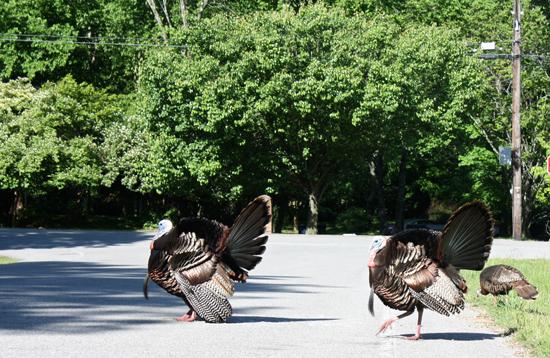 Modfrugal/Wild Turkeys in Love